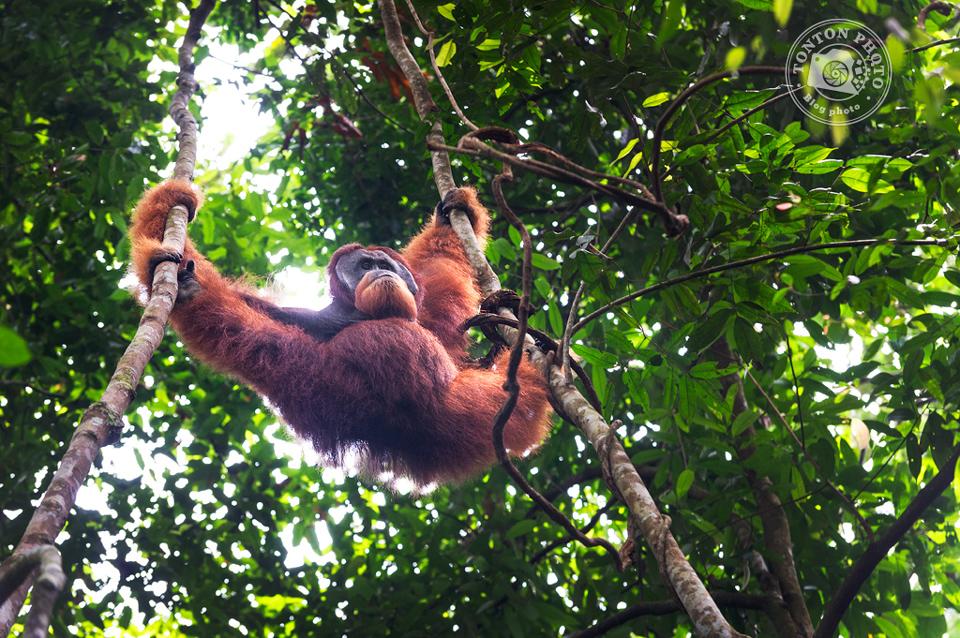 Orang-outang © Tonton Photo http://tontonphoto.fr/